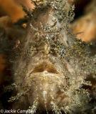Shaggy Frogfish, Indonesia