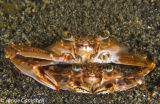 Mating Crabs, Lembeh, Indonesia