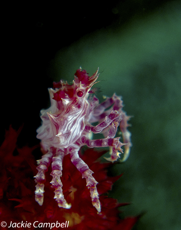 Soft Coral Crab, Indonesia