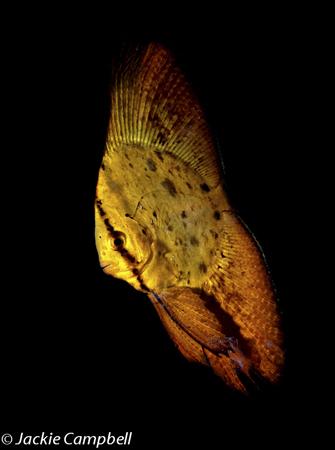 Juvenile Batfish, Lembeh, Indonesia