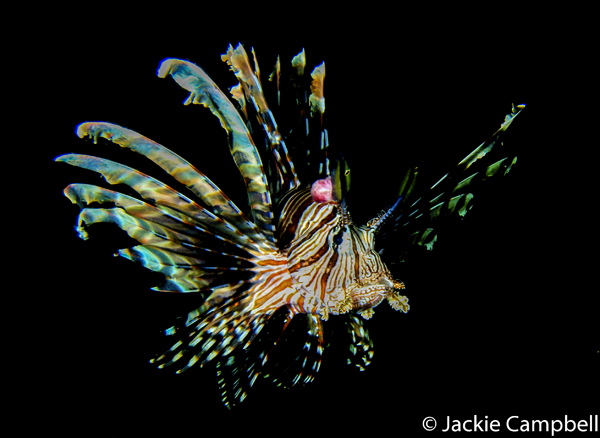 Lionfish, Indonesia