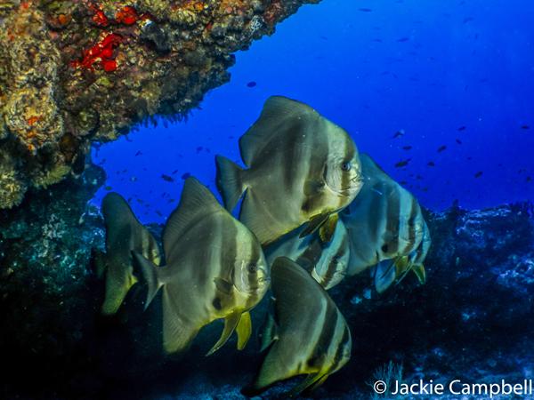 Batfish, Maldives