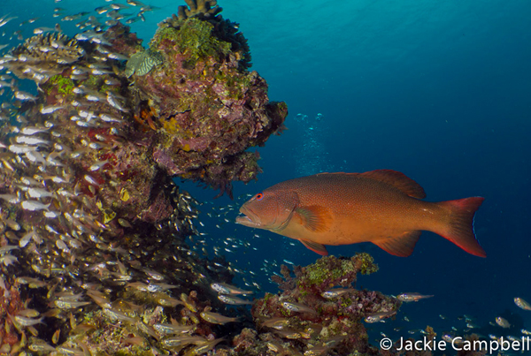 Common Coral Trout, Great Barrier Reef, Australia