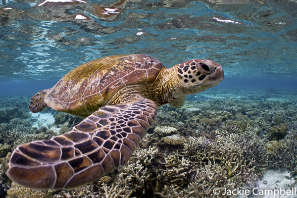 Turtle in Lagoon, Lady Elliot Island, Australia