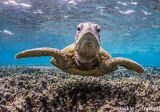 Green Sea Turtle Portrait, Great Barrier Reef, Australia