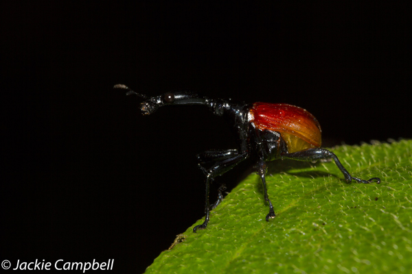 Male giraffe necked weevil, Madagascar
