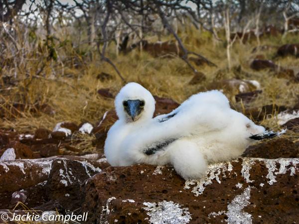 Booby Chick, Galapagos