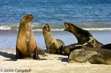 Galapagos Sea Lions, Galapagos