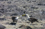 Albatros, Hood Island, Galapagos