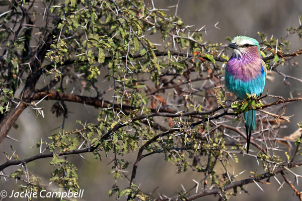 Lilac crested roller, Botswana