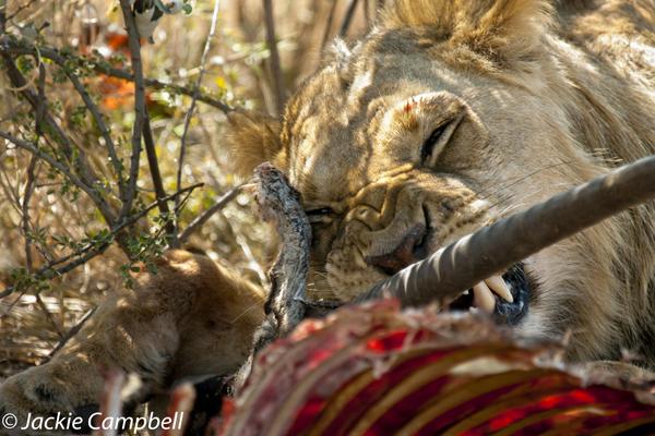 Lion Dinner, Botswana