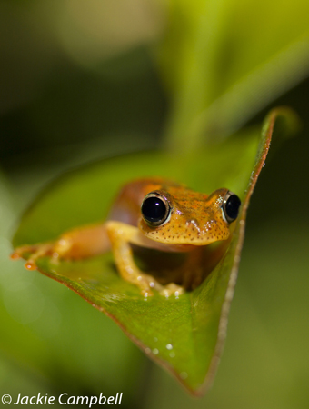 Madagascar tree frog, Madagascar