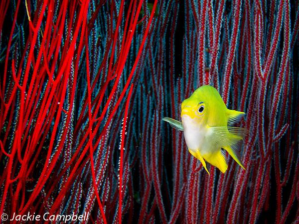 Yellow damselfish in the reeds