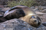Sea Lion with Pup, Galapagos Islands, Ecuador