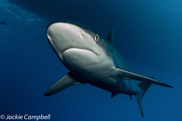 Silky Shark, Red Sea, Sudan