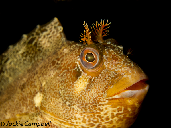 Tompot Blenny, Swanage, UK
