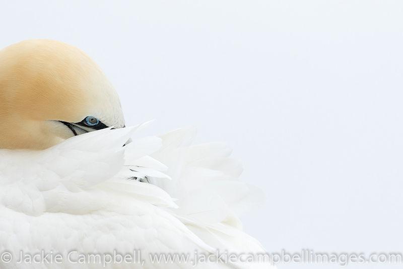 Resting Gannet