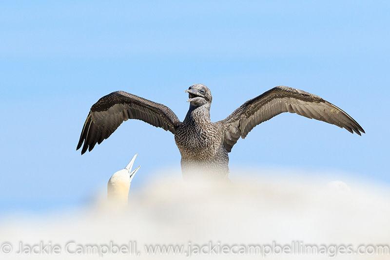 Juvenile Gannet