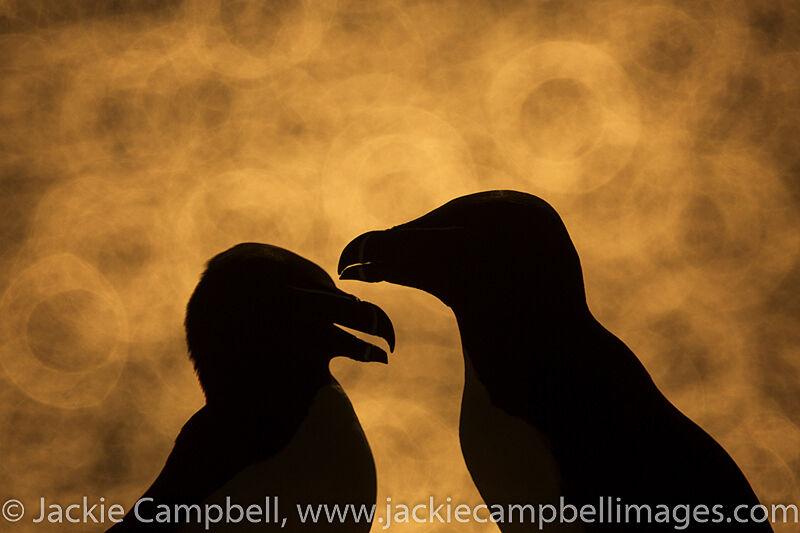 Razorbills at sunset