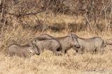 Warthogs, Botswana