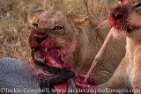 Lions with Warthog, Botswana