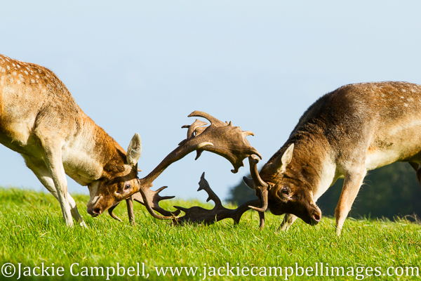 Head to Head, rutting deer, Ireland