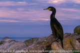 Shag at sunset, Wexford, Ireland