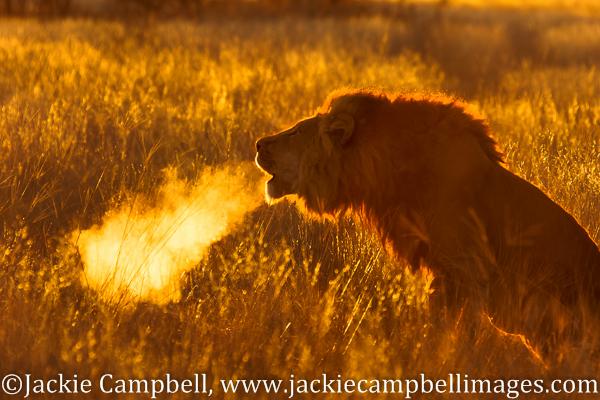 Lion Breath, Botswana