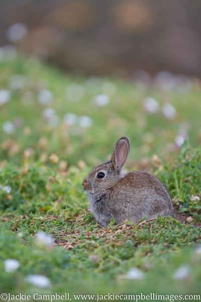 Rabbit, Great Saltee Island, Wexford, Ireland