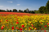 Field of Poppies and Yellow marguerite
