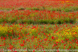 Poppy field with Yellow marguerite