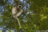 Verreaux's sifaka, Madagascar