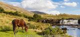 Connemara pony at Ashleigh falls, Galway, Ireland
