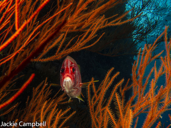 Giant Squirrel fish, Red sea Egypt