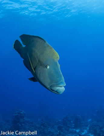 Napoleon Wrasse, Red Sea, Egypt