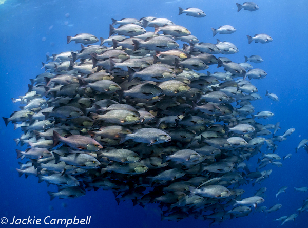 Large school of snapper, Red Sea, Egypt