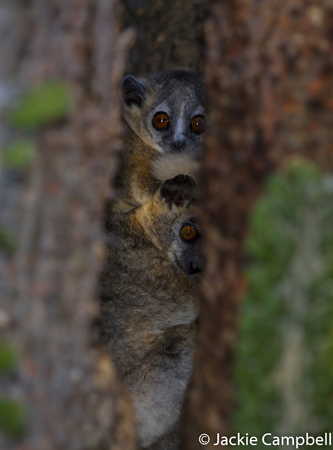 White footed sportive lemur, Madagascar
