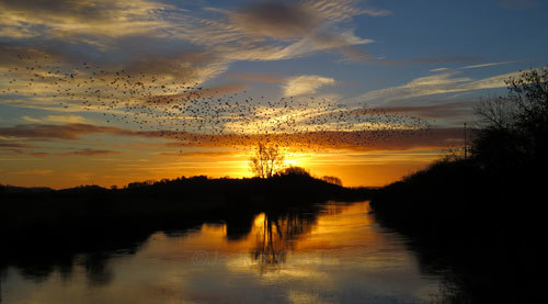 Starlings over King's Sedgemoor Drain