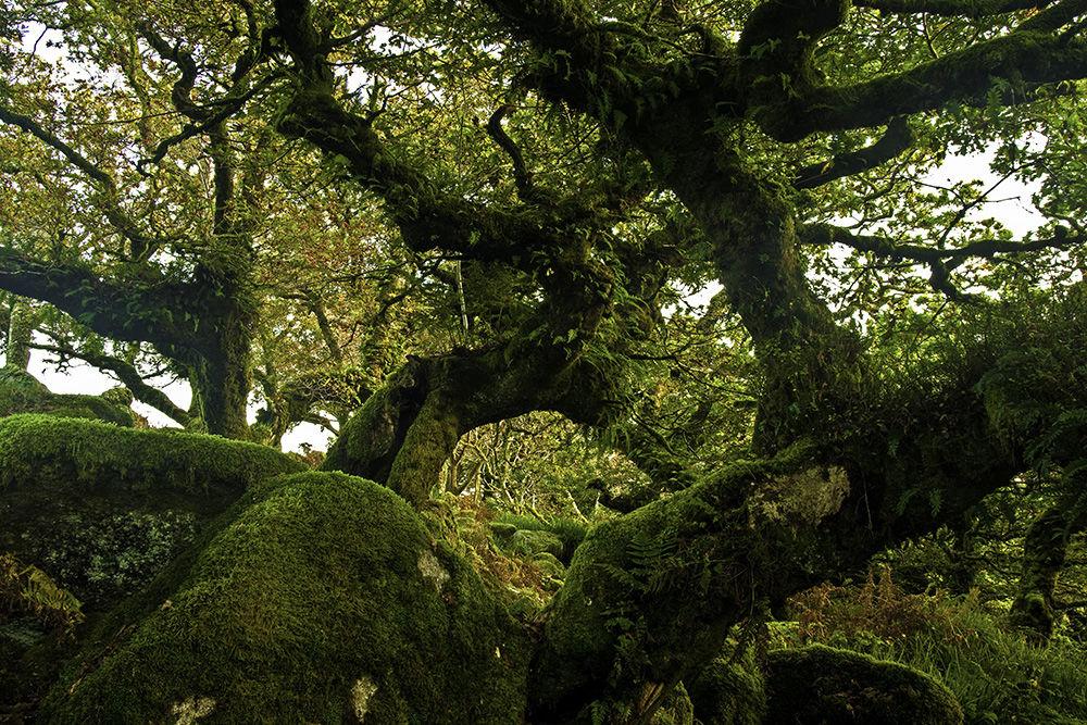 Wistman's Wood I