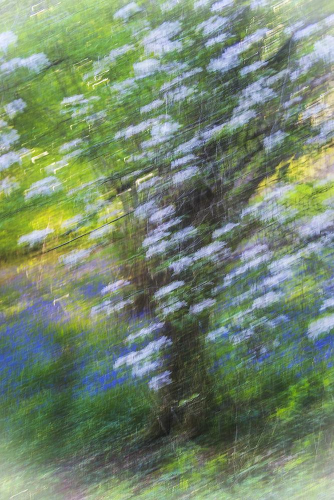 Cherry Tree and Bluebells II