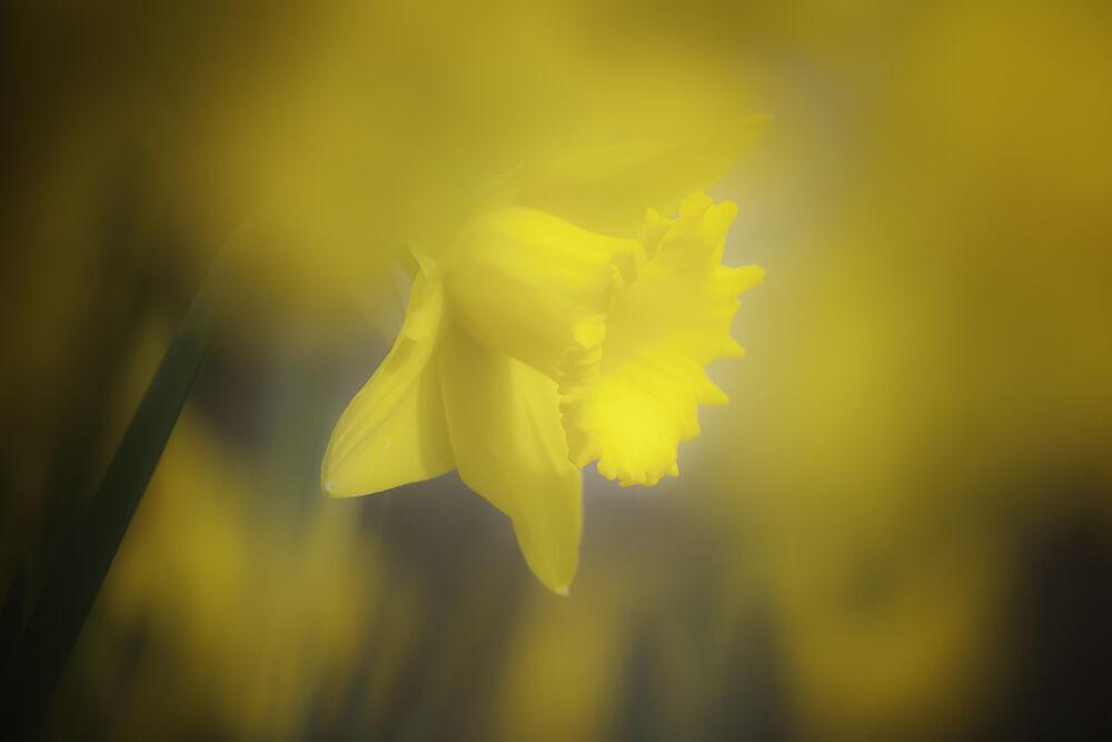 Daffodil IV