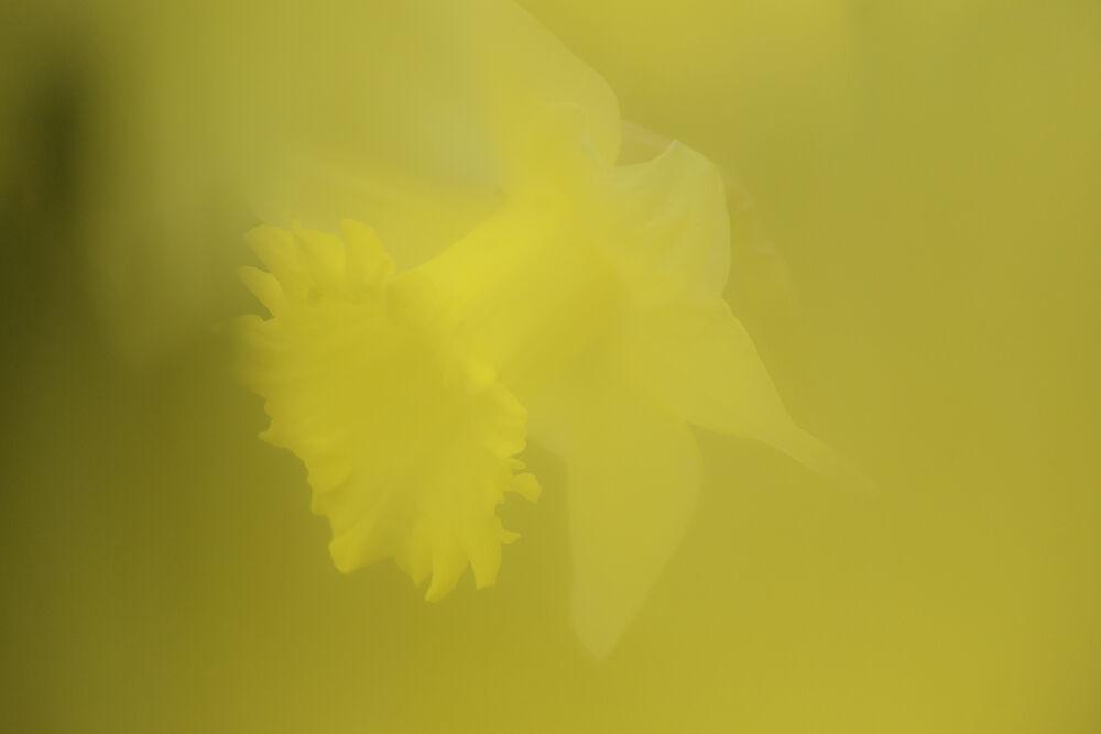 Daffodil V
