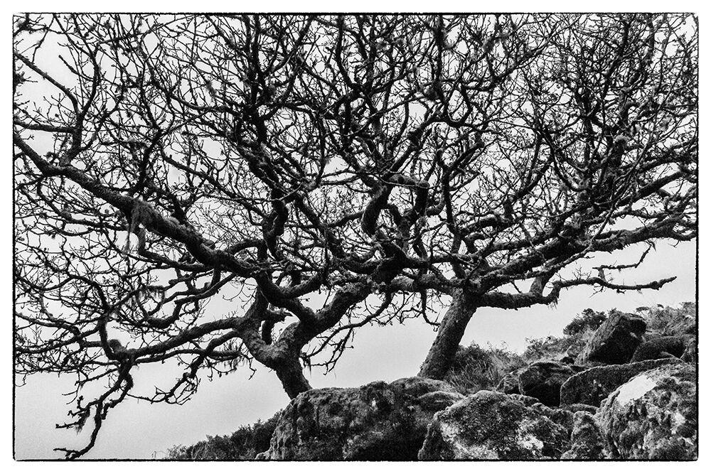 Dartmoor Trees 10