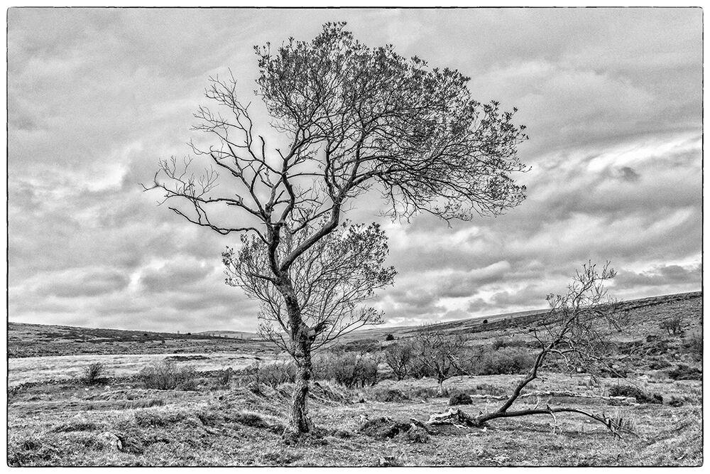 Dartmoor Trees 1