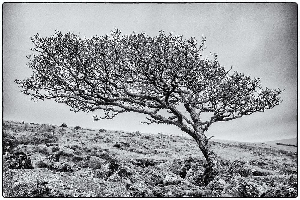 Dartmoor Trees 3