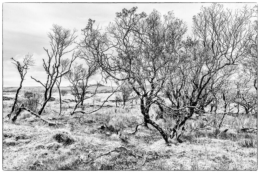 Dartmoor Trees 4