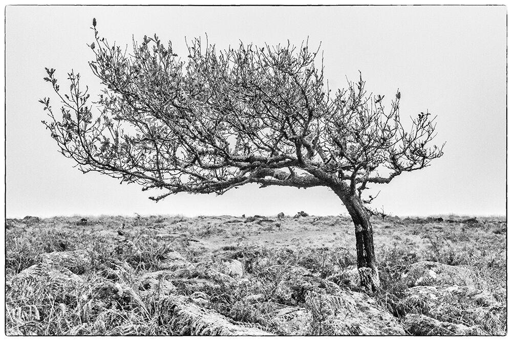 Dartmoor Trees 7