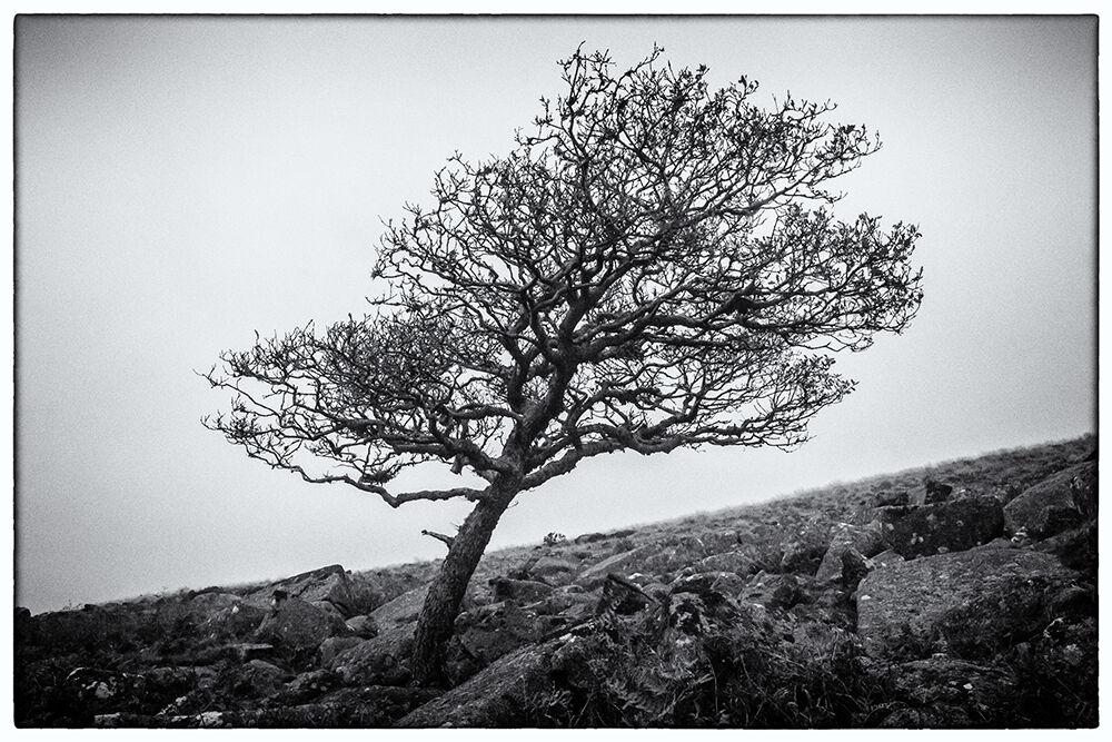 Dartmoor Trees 8