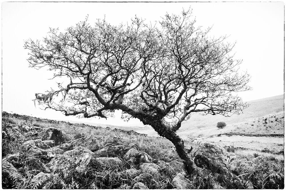 Dartmoor Trees 9
