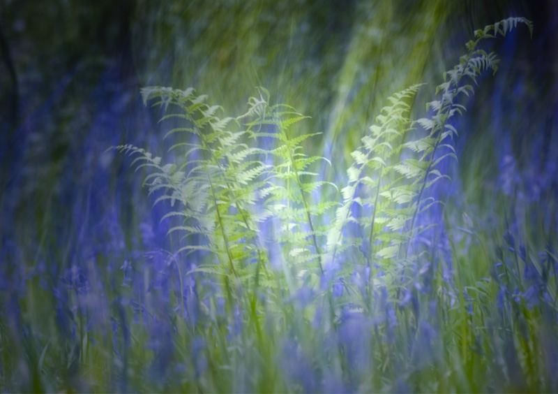 Fern and Bluebells Abstract